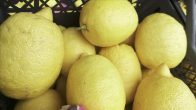 Narenciye ihracatını limon sırtladı